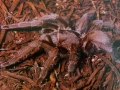 barking-or-bird-eating-spider