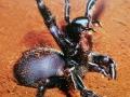 funnel-web-spider-2