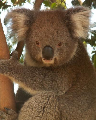 Symbolem Austrálie je také koala