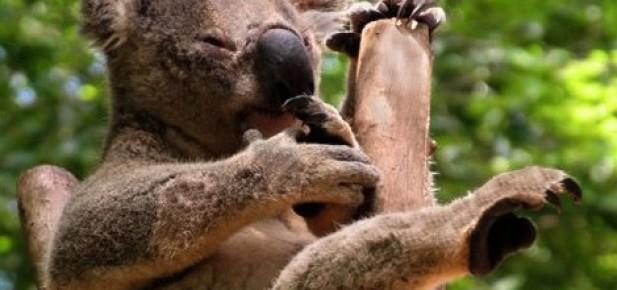 Koaly mají leháro...Vy však budete v Austrálii pracovat.
