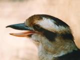 Kookaburra - studium v Austrálii - Kukabara
