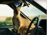 klokan v autě - studium v Austrálii - Kukabara