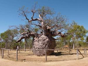 prastarý baobab Boab Prison Tree