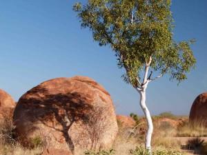 Eukalyptus je v Austrálii velmi rozšířeným stromem - tenhle roste mezi Ďáblovými kuličkami (Devil´s Marbles, Severní teritorium).