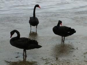 Černých labutí uvidíte v Perthu spoustu.