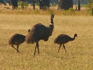 táta emu s potomky