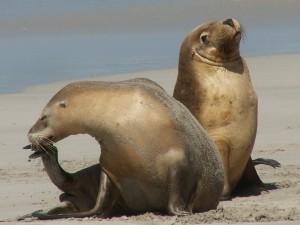 lachtan šedý - těžká pohoda na pláži Seal Bay
