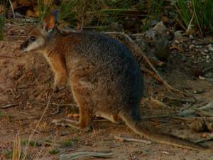 """pro malé druhy klokanů používají Australané výraz """"pademelon"""""""