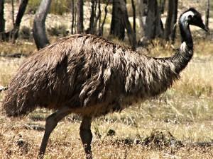 pozor - emu není pštros!