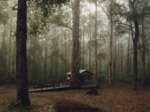 "Diamond Tree - ranní opar v eukalyptovém ""karri"" lese"
