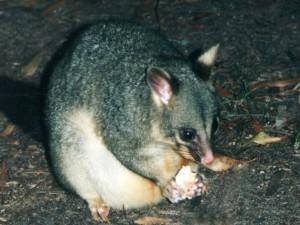 possum a jeho svačinka
