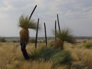 """Grass tree s """"klokaními ocasy"""""""