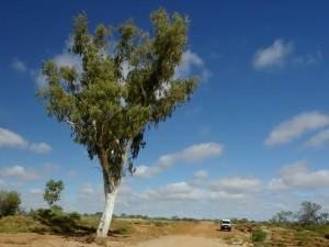 """Osamělý eukalypt při cestě """"prašňačce"""" (unsealed road)."""