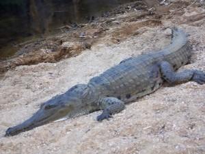 Sladkovodní krokodýl Johnstonův se rozvaluje v písku a fotících diváků si vůbec nevšímá.