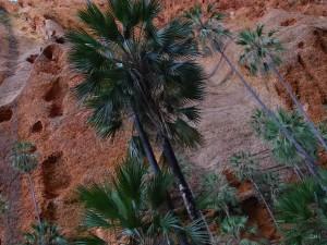 V Austrálii můžete na palmy narazit na nečekaných místech.