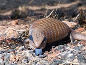 Tilikva (blue-tongued lizard) v úzkých zastrašuje modrým jazykem a nafukuje tělo, aby se zdálo větší.