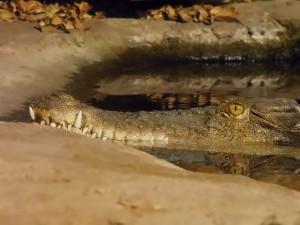Saltie (krokodýl mořský) je i ve sladké vodě jako doma.