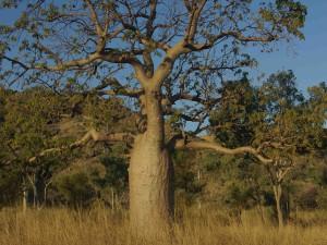 """Boab - mladší verze """"lahvového stromu"""""""