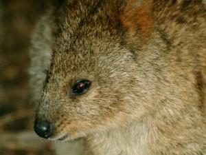 quokka - Rottnest Island - cestovani - Australie - kukabara
