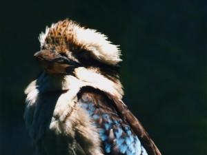 Tuhle kukabaru v Alice Springs nepotkáte.