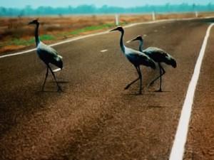 Nejen v Queenslandu má jeřáb brolga na silnici přednost.