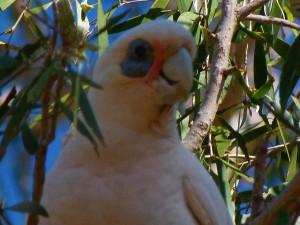 Kakadu naholící vypadá trošku jako po bitce - modrý monokl a šmouhy od krve...