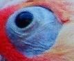 kakadu naholící detail