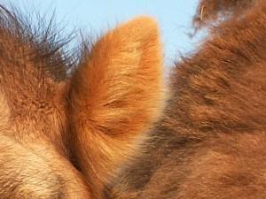 A ucho velbloudí - rozklikněte...