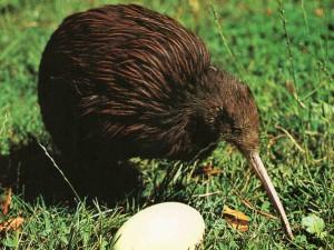 Vejce kiwiho je v poměru k velikosti těla největším ptačím vejcem světa.