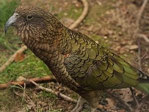 Takhle vypadá kea nenápadně, ale spodní plocha křídel je sytě červená.