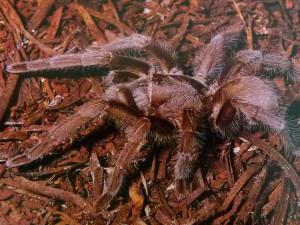 """""""Štěkající"""" pavouk je pěkný macek."""