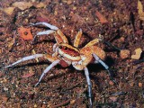 Australský wolf spider je docela fešák, že?