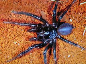 Funnel web spider není žádný drobeček.
