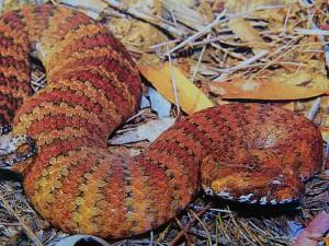 """Had smrtonoš se o své """"smrtonosné"""" jméno dělí se štírem smrtonošem - mimochodem nejjedovatějším štírem světa."""