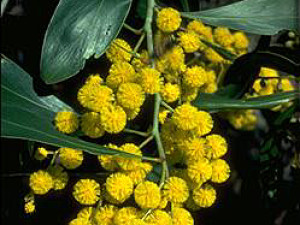Golden wattle v plném květu.