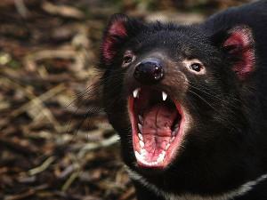 Tasmanian devil předvádí svůj chrup.