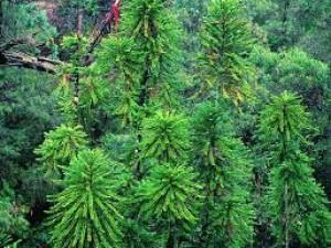 Wollemi pine v NP Wollemi - jediném místě, kde roste ve volné přírodě.