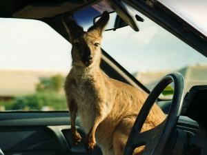 Austrálie klokan Kukabara