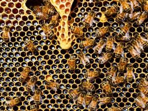 Včelí bodnutí má ročně v Austrálii na svědomí 5x víc úmrtí než hadi.