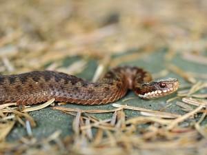 V Austrálii žije 34x víc hadích druhů než v České republice. Z našich 5 druhů je jedovatá jen zmije.