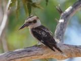 Kukabara představuje australské opeřence v Kukabara kvízu...