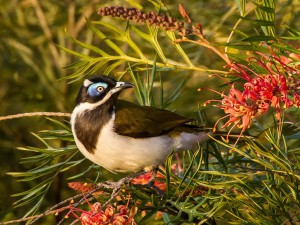 medosavka modrolící neboli blue-faced honeyeater