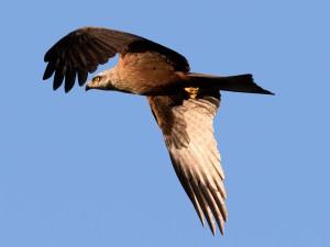Orlík není navzdory svému jménu žádný drobeček, vždyť má rozpětí křídel až 185 cm.