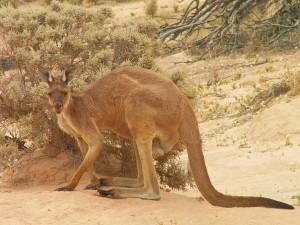 klokan rudy - kviz - cestovani - australie