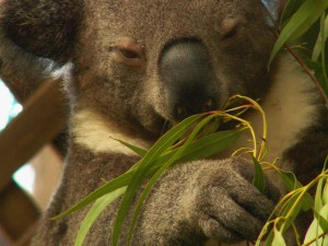 koala - listy - blahovicnik - cestovani - australie