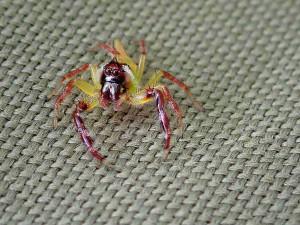 pavouk - australsky - vedomostni kviz