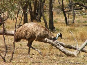 emu-kviz-australie-priroda